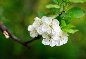 Omenapuun oksa kukassa.